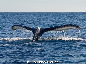 Diving. Wish I could join the humpback :-) by Christian Nielsen 